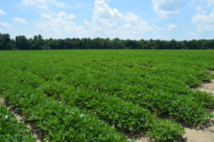 Field of row crops