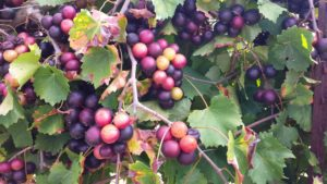 Muscadine grapes on vine.