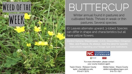 Description of the buttercup weed