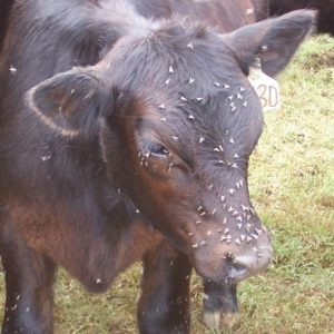 Cow with flies on head and eyes