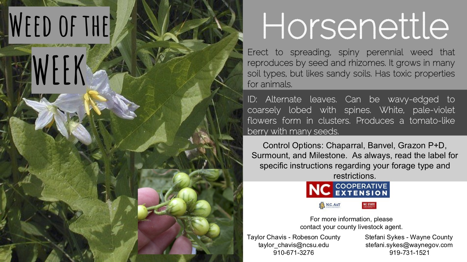 Picture and information on the week horsenettle.