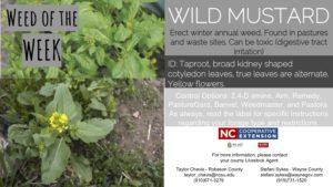 Description of Wild Mustard