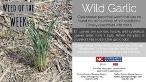 Description of wild garlic.
