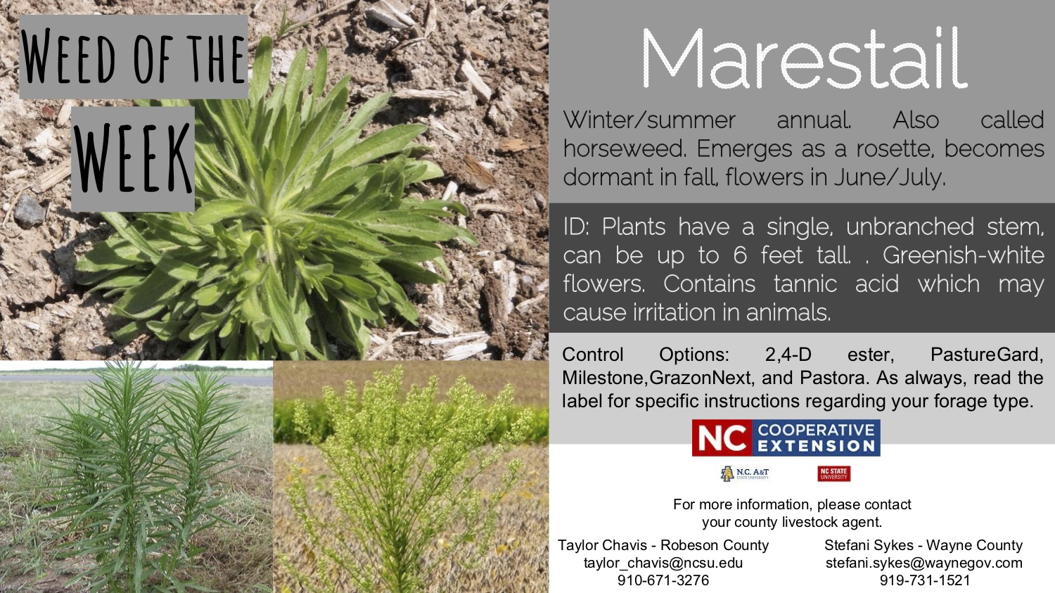 Information on the marestail weed
