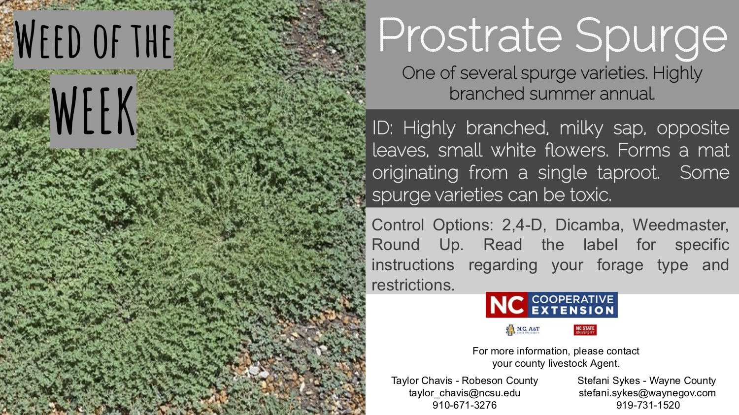 Information on the week prostrate spurge.