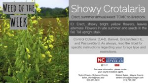 Information on the weed Snowy Crotalaria