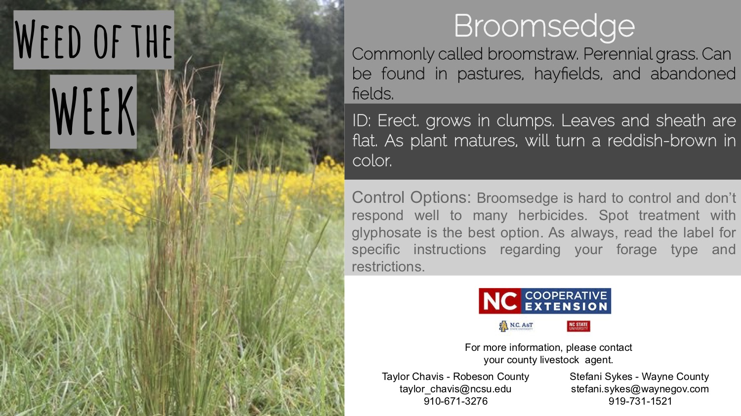 Information on the weed Broomsedge.