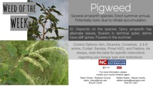 Information on Pigweed