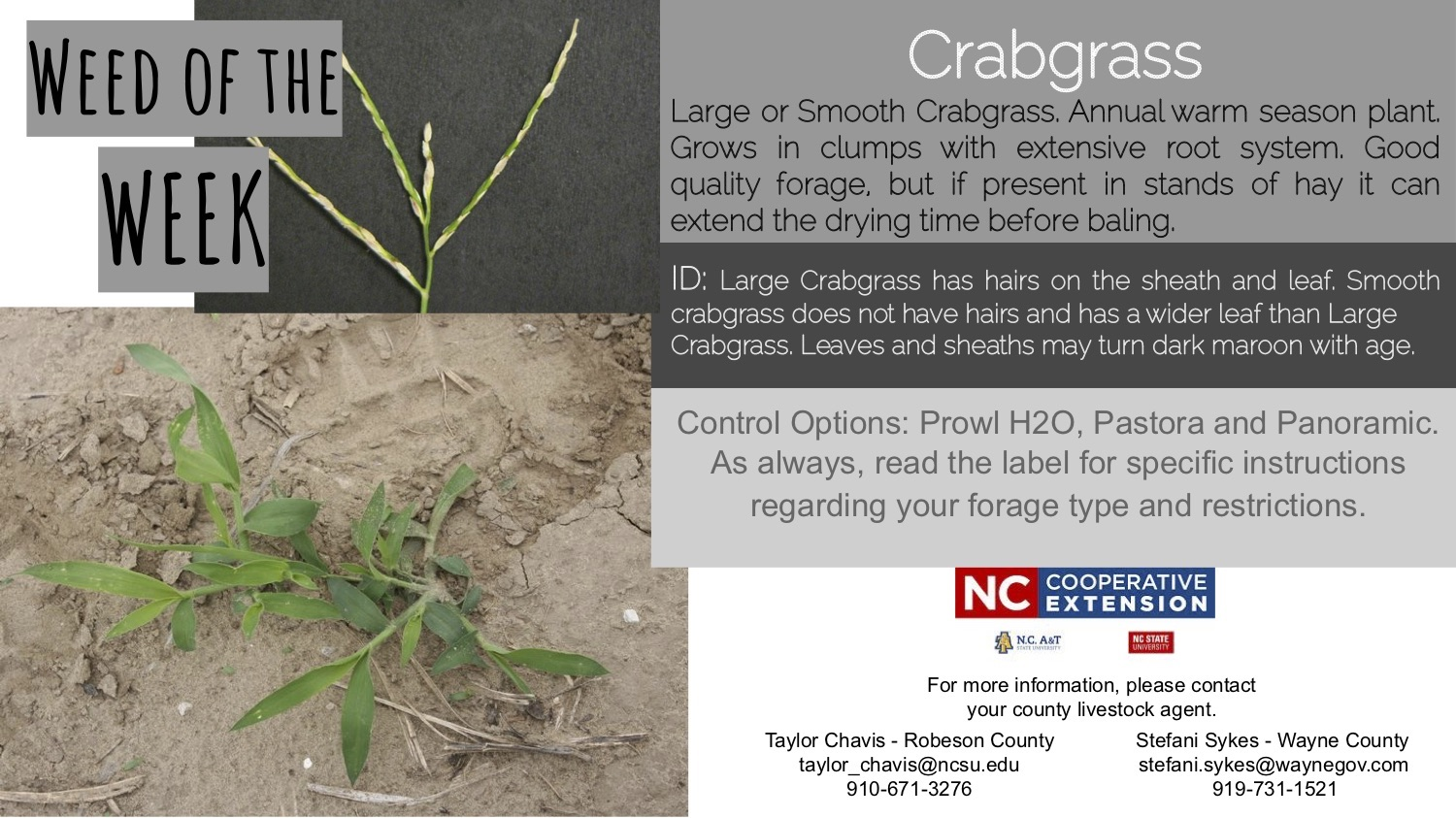 Information on the weed crabgrass