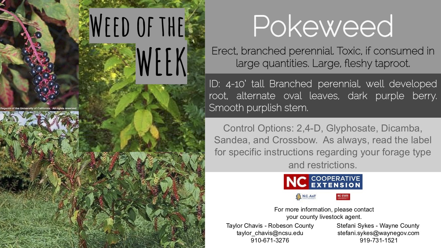 Information on the weed pokeweed