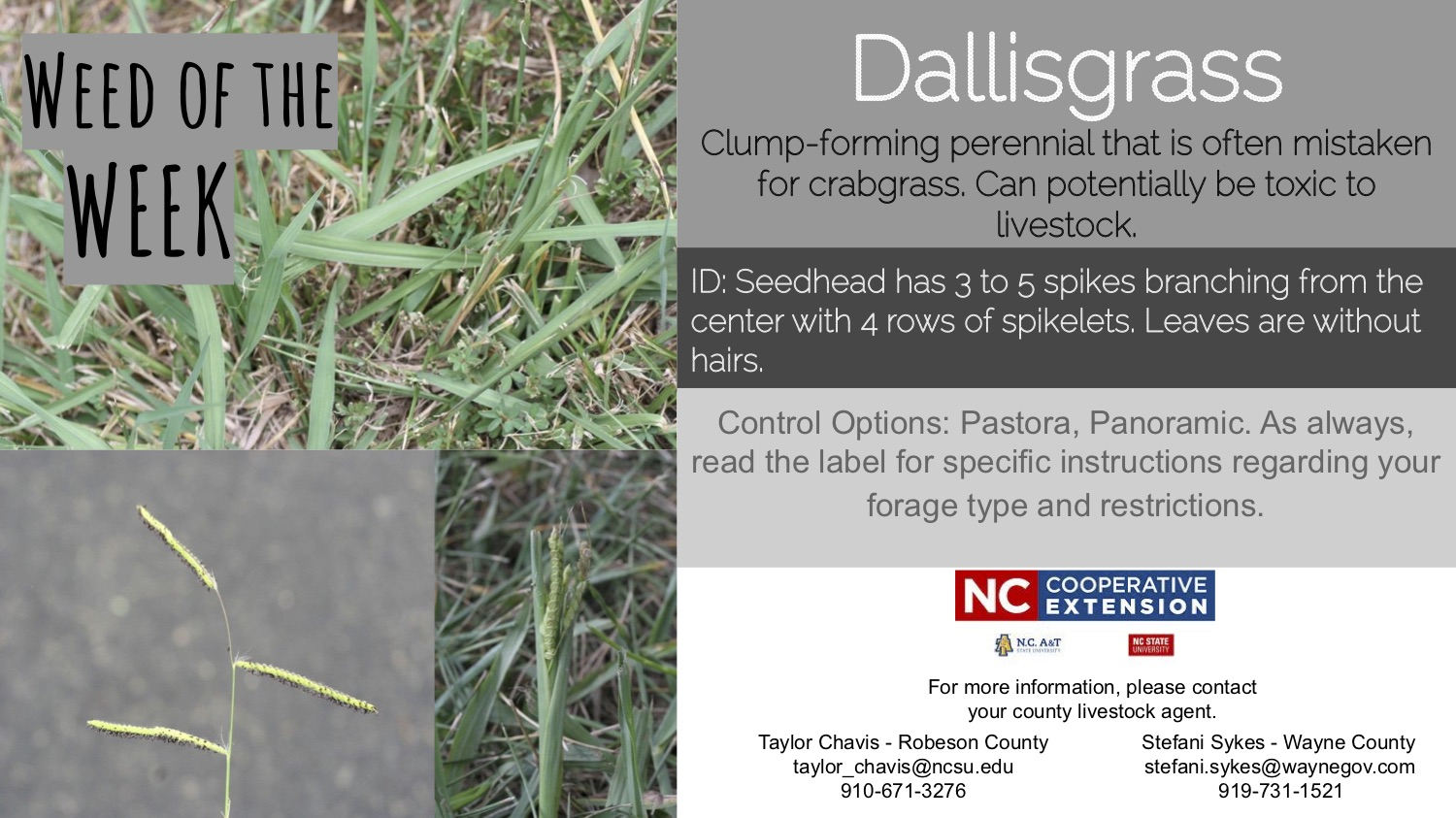 Information on the weed Dallisgrass