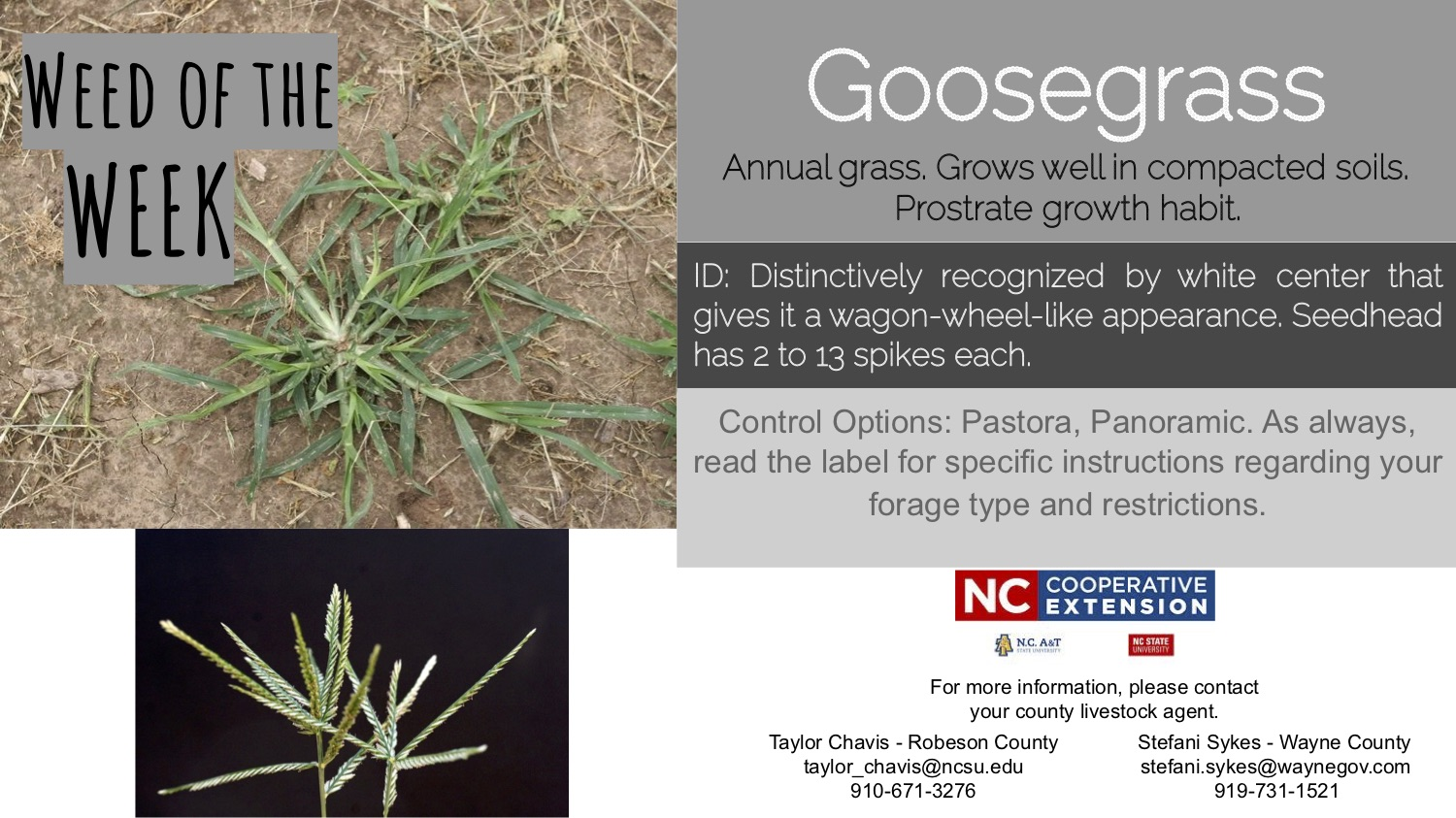 Information on the weed goosegrass