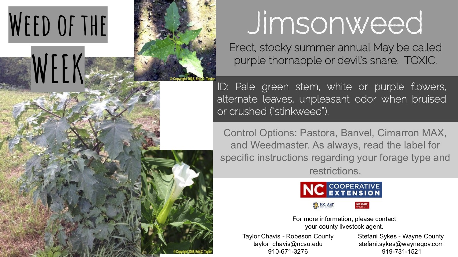 INformation about the weed Jimsonweed