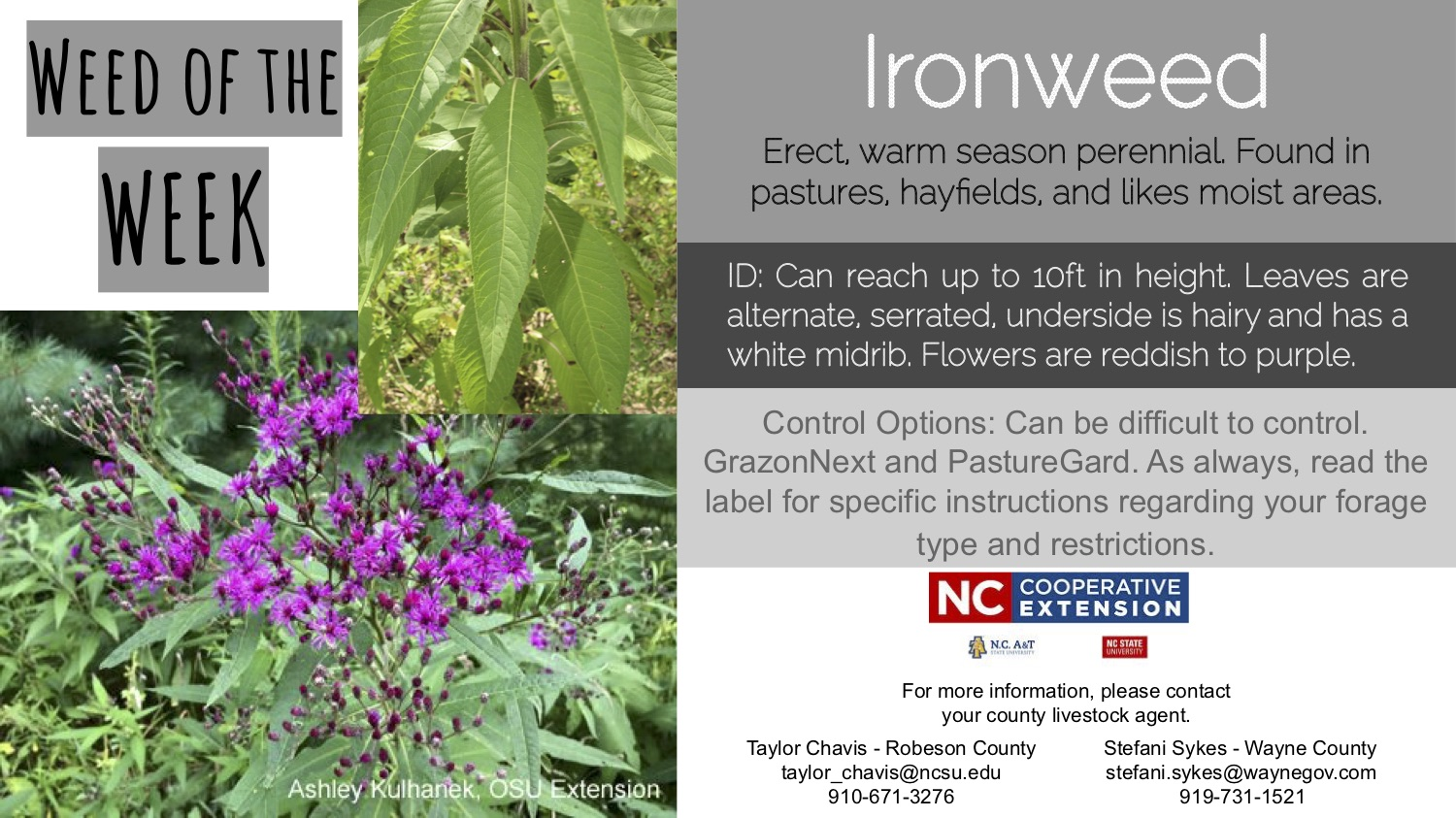 Information on the weed Ironweed