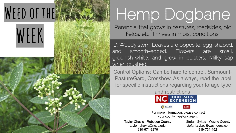 Information on the weed Hemp Dogbane