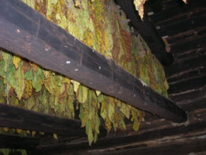 tobacco hangingn in barn