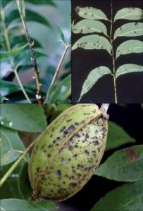 images of Pecan Scab