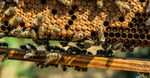 Honeybees on a hive