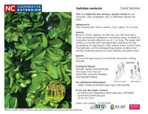 Giant salvinia identification card