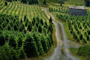 Picture of Christmas Tree Farm